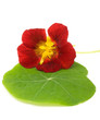 Nasturtium on Green Leaf