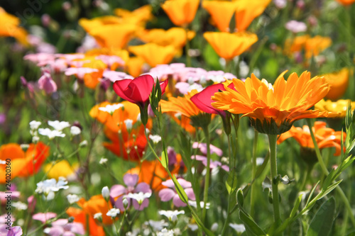Colourful meadow flowers
