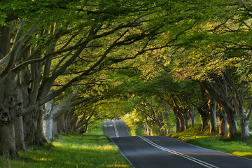 Beech tree avenue at Kingston Lacey, Dorset, UK