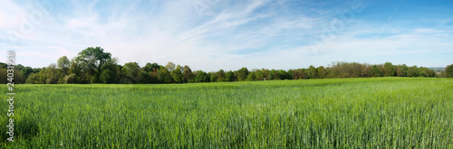 Green barley panoramic field