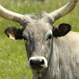 Tuscan cow called chianina, Italy poster