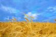 Wheat crop on the field
