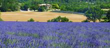 lavande et blé en Provence