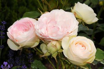 duftstarke Englische Rose