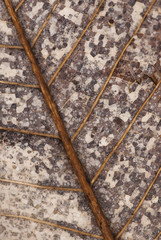 Close up of decaying magnolia leaf