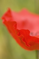 Close up of red poppy