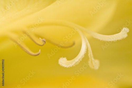 Close up of yellow gladiola