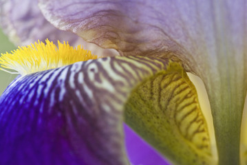Close up of bearded iris