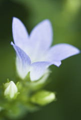 Close up of blue bellflower