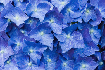 Close up of blue hydrangea