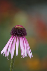 Close up of pink echinacea