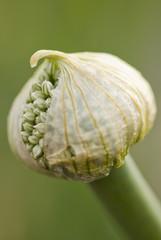 Close up of leek blossom