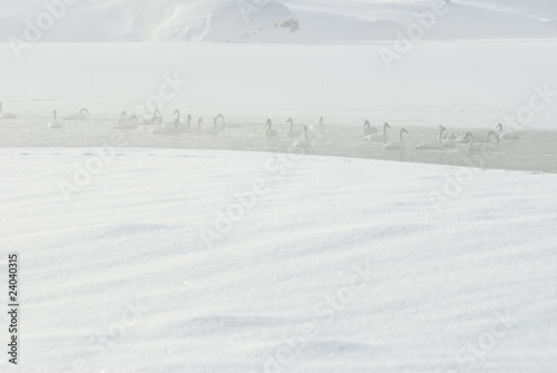 Trumpeter swans in snow