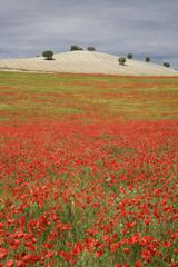 """""""Field of poppy flowers in Buenavista, Andalucia, Spain"""""""