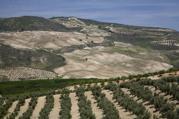 """Olive grove near Cachin, Andalucia, Spain"""