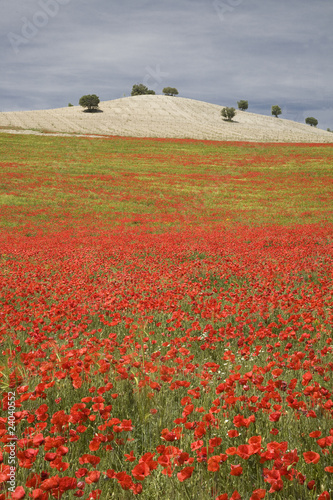 """Field of poppy flowers in Buenavista, Andalucia, Spain"""