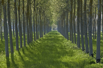 Tranquil row of trees and green grass