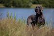 belle posture du dogue allemand à la campagne