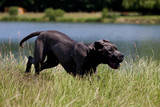 Německý pes rasy v trávě u rybníka
