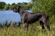 le dogue allemand est le plus grand des chiens