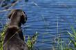 dogue allemand regardant l'eau depuis le rivage