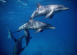 EGYPT, HURGHADA, Red Sea, wild dolphins in open water