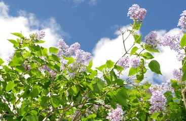 Lilac tree against the sky