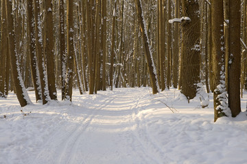 Winter forest with ski track
