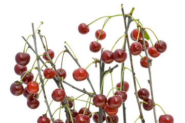 Branches of a ripe cherry without leaves