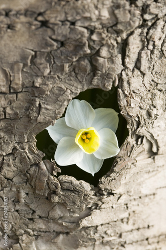 white narcissus in the hole of a tree