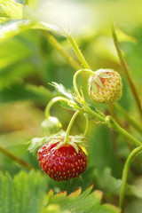strawberry on the plant