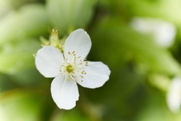 jasmin bush flower
