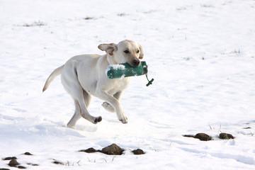 Spielender Labrador Retriever im Schnee