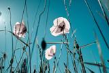 Mohnblumen Papaver rhoeas - 24062301