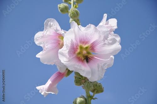 Abeille butine une rose trémière