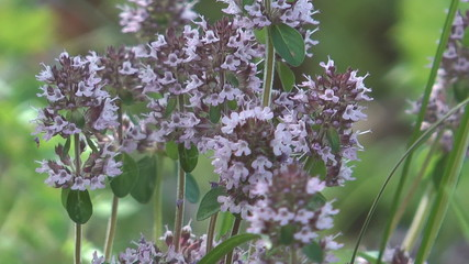 HD 1080 closeup shot of thyme flowers.