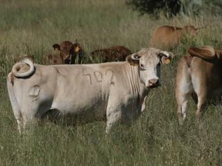 Vacas en Madrid