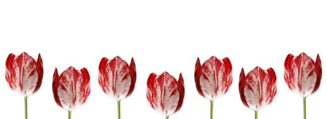 Line of  tulips for borders, frames etc
