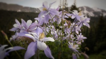 (1220) Colorado Mountains Alpine Landscape Wildflowers Summer