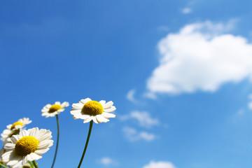 weiss-gelbe Blume vor blauem Himmel