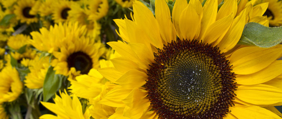 Sunflowers in panoramic