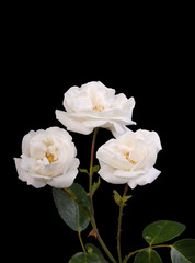 Three white roses on a black background