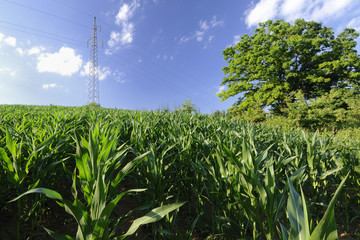 Corn field on the hill