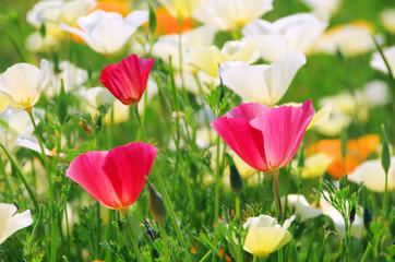 Kalifornischer Mohn - California poppy 20