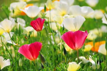 Kalifornischer Mohn - California poppy 21