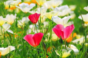 Kalifornischer Mohn - California poppy 22
