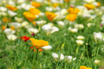 Kalifornischer Mohn - California poppy 23