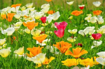 Kalifornischer Mohn - California poppy 25