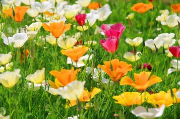 Kalifornischer Mohn - California poppy 26