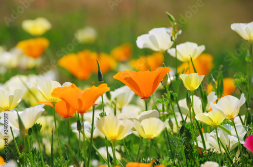 Kalifornischer Mohn - California poppy 19